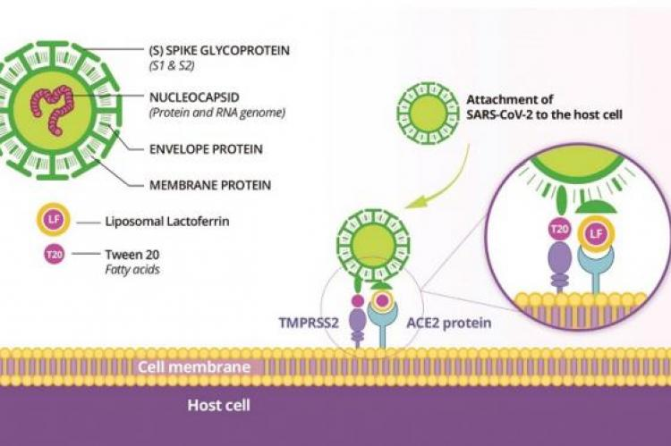 Lactoferrin and viral spike protein compete for the ACE2 receptor in the host cell membrane; the liposome by its own structure and composition (fatty acids, surfactants, alcohol) may induce changes in the lipids and proteins of the cell and the virus (TMPRSS2).